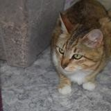 Rosy, Chat europeen à adopter