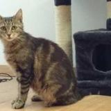 Bella, Chat europeen à adopter
