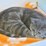 Anisette, Chat europeen à adopter