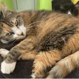 Abricot, Chat europeen à adopter