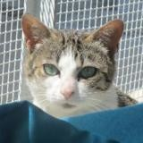 Courtney, Chat europeen à adopter