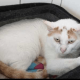 Coton, Chat europeen à adopter