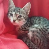 Dahlia, Chaton europeen à adopter