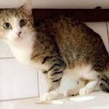 Minouche, Chat europeen à adopter