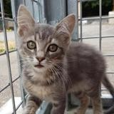 Nuts, Chaton europeen à adopter