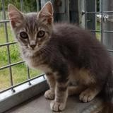 Simba, Chaton europeen à adopter