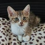 Bonbon, Chaton europeen à adopter