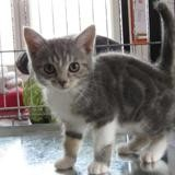 Grincheuse, Chaton europeen à adopter
