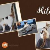 Shilow, Chat europeen à adopter
