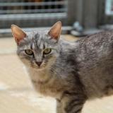 Cassy, Chat europeen à adopter