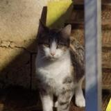 nandila, Chat europeen à adopter