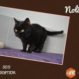 Nolita, Chat europeen à adopter