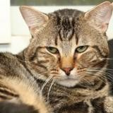 Baba a13860, Chat europeen à adopter