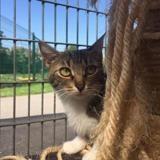 Alina, Chat europeen à adopter