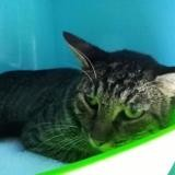 Tod, Chat europeen à adopter