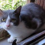 Oscar, Chat europeen à adopter