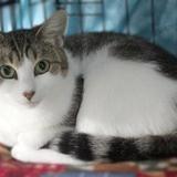 Bonnie, Chat europeen à adopter