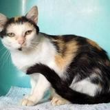 Lady, Chat europeen à adopter