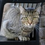 Catelyn, Chat europeen à adopter