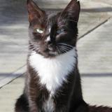 Telma, Chat europeen à adopter