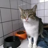 Tania, Chat europeen à adopter