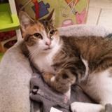 Princesse, Chat européen à adopter