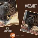 Mozart, Chat europeen à adopter