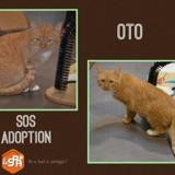 Oto, Chat europeen à adopter