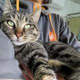 Cesar, Chat europeen à adopter