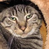 Irmin, Chat europeen à adopter