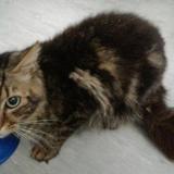 Pandor, Chat europeen à adopter
