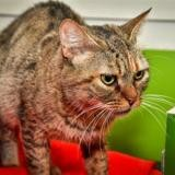 Proteine a14268, Chat europeen à adopter