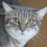 Pazou, Chat europeen à adopter