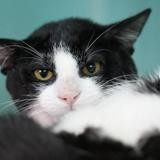Chico, Chat europeen à adopter