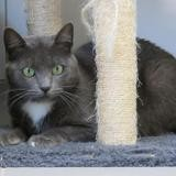 Moutarde, Chat europeen à adopter
