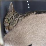 Fiona, Chat europeen à adopter