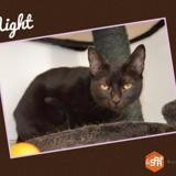 Night, Chat europeen à adopter