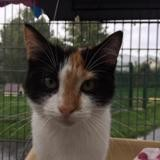 Feline, Chaton europeen à adopter