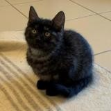 Cookie, Chaton europeen à adopter
