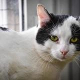 Grizzli a14375, Chat europeen à adopter