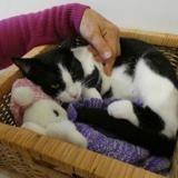 Yoko, Chat europeen à adopter