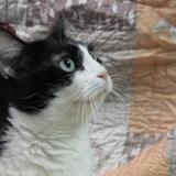 Pistache, Chat europeen à adopter