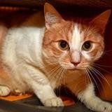 Rouquin a14399, Chat europeen à adopter