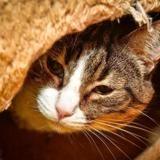 Motta dit bombon a14401, Chat europeen à adopter