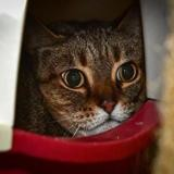 Toonie a14398, Chat europeen à adopter