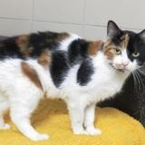 Milady cab7332, Chat europeen à adopter