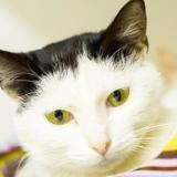Prisca, Chat europeen à adopter