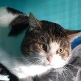 Astro, Chat europeen à adopter