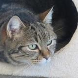 Rosi, Chat europeen à adopter