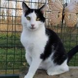 Melisse, Chat europeen à adopter